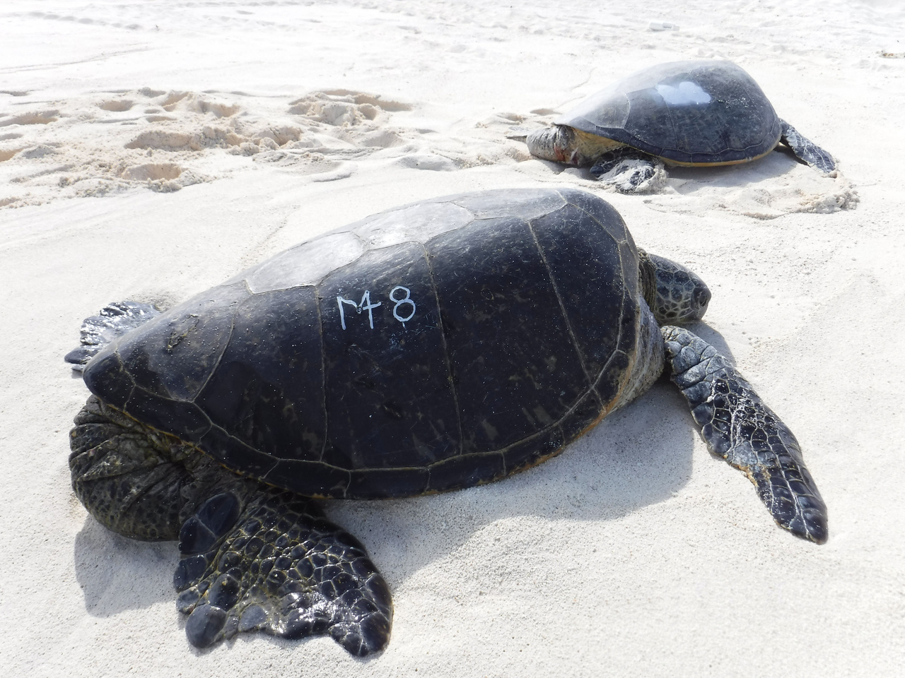 Green sea turtle with etched number on its shell in non-toxic paint on the shores of French Frigate Shoals, Northwestern Hawaiian Islands