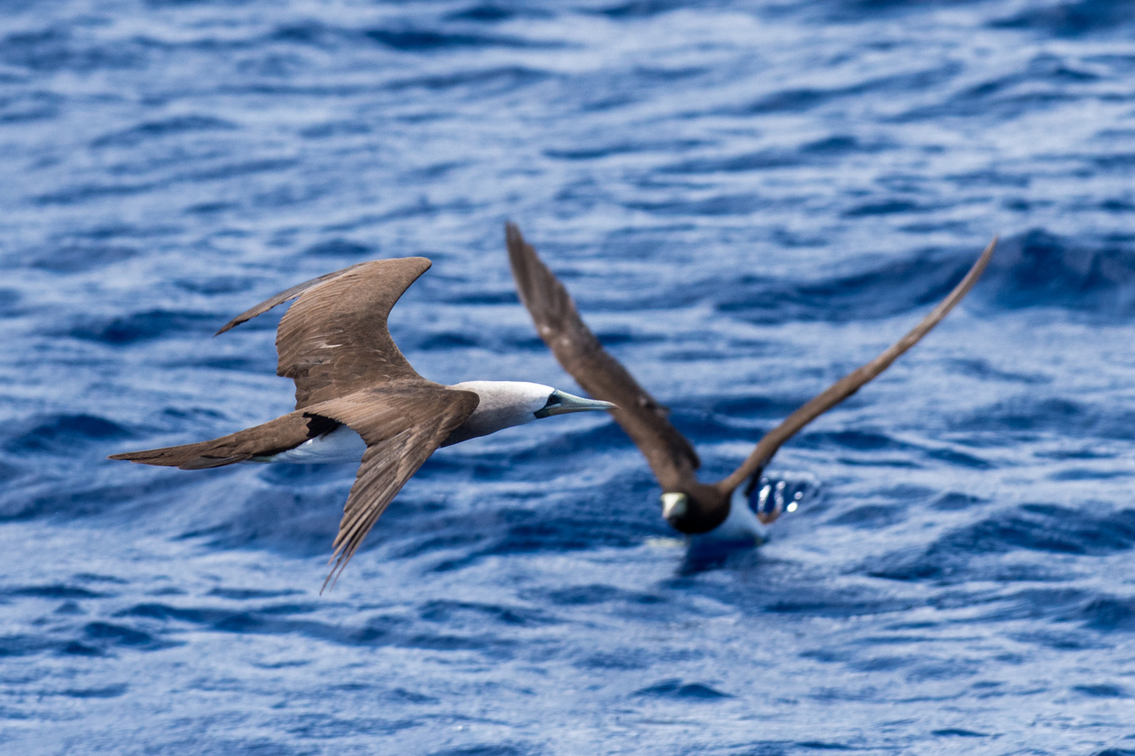 A Brewster's brown booby flies in the foreground; brown booby in the background.