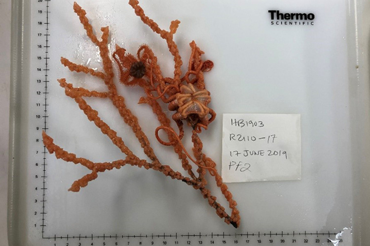 primnoa-brittle-stars-10.jpg