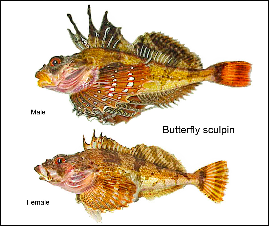butterfly sculpin (Hemilepidotus papilio)