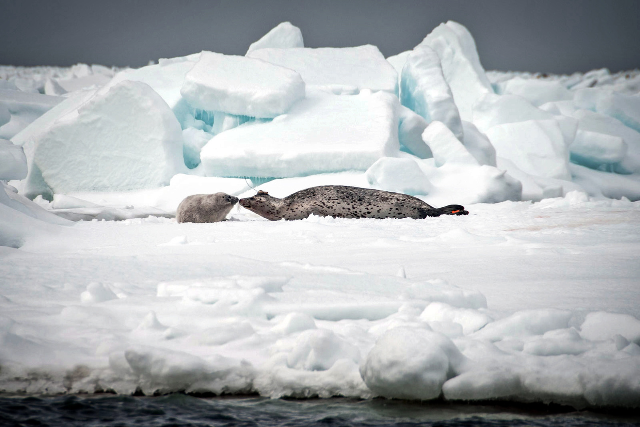 Tagged seal.  Photo credit: David Withrow (NOAA Fisheries).