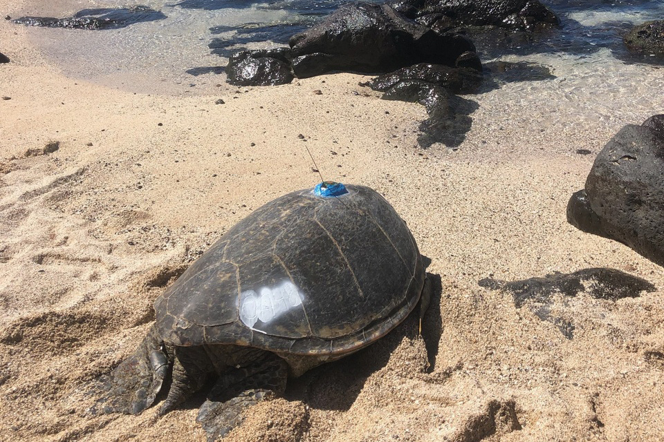 Motherload, a green turtle on the beach