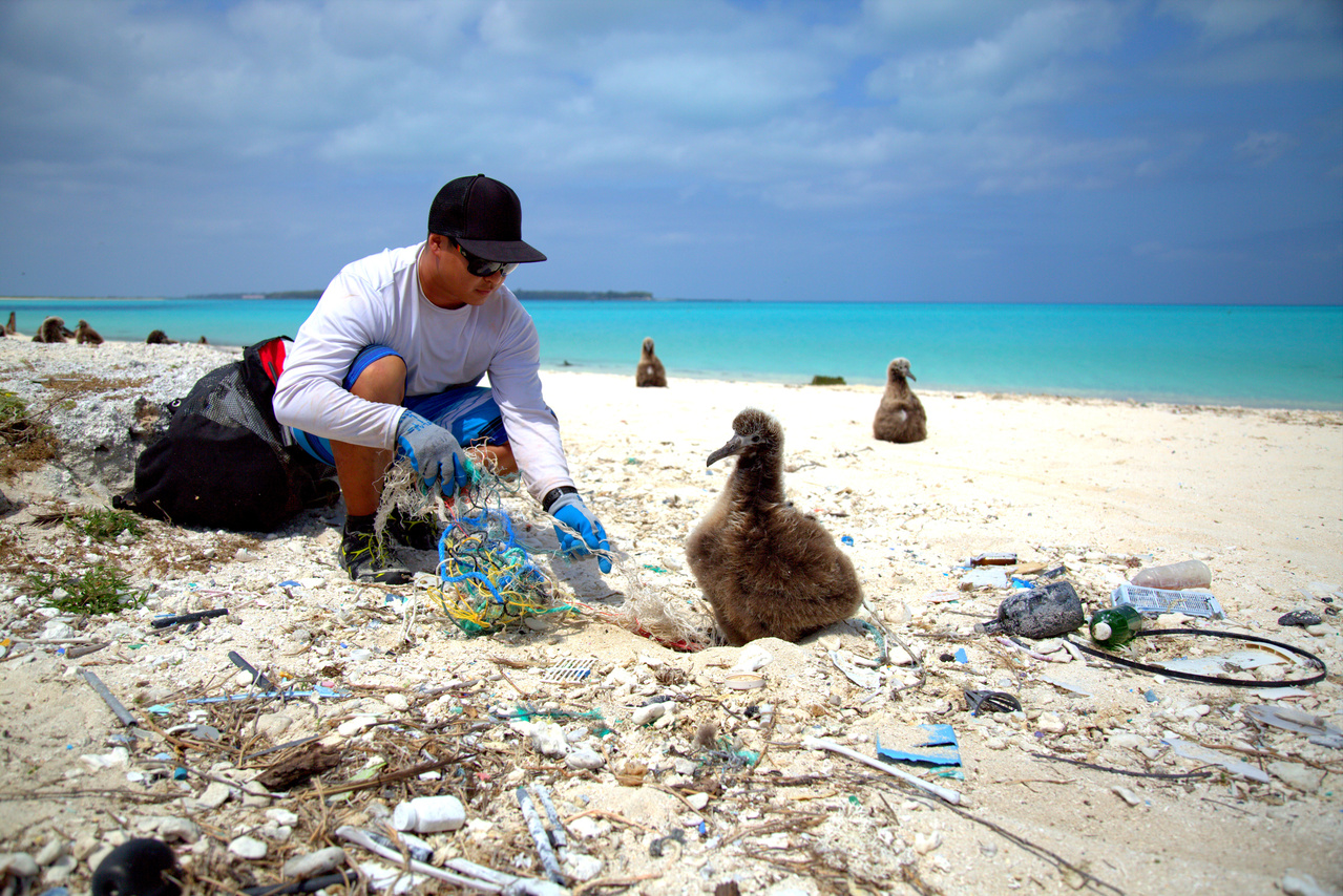 On April 17, 2016, a Marine Debris team member disentangled a Laysan Albatross chick from derelict fishing net and debris on the western shore of Eastern Island.Photo: NOAA Fisheries/Ryan Tabata