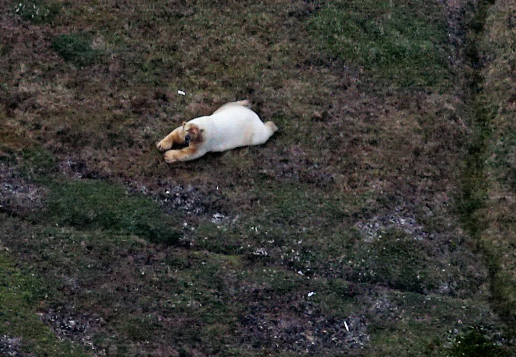 A Polar bear. Photo taken by: Corey Accardo, NOAA/NMFS/AFSC/MML