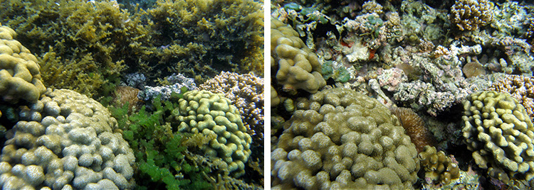 Before (smothered with seaweed) and after (seaweed removed) coral image.