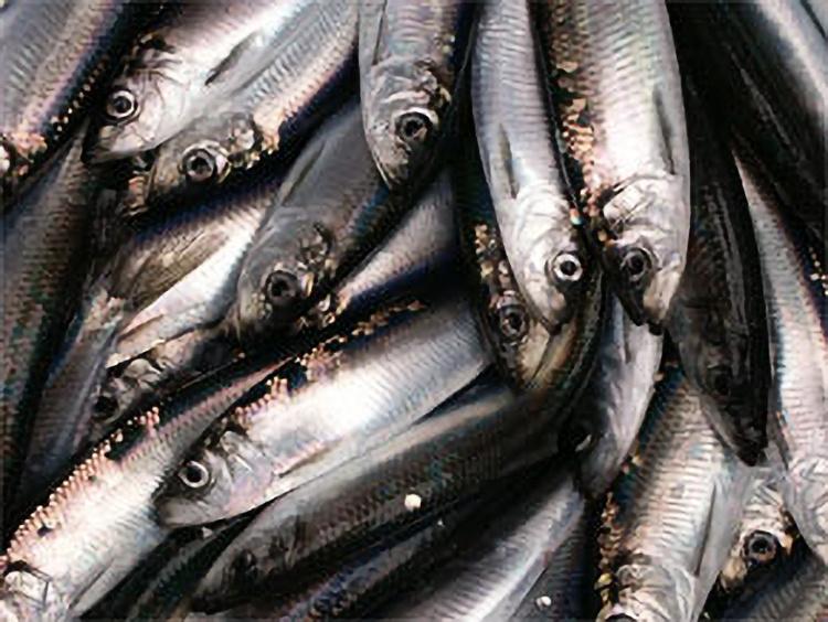 Herring_Clupea_pallasi_FishProcessingFoodHabits-processing.jpg