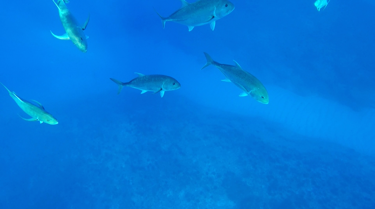 Ulua or giant trevally at Kure Atoll