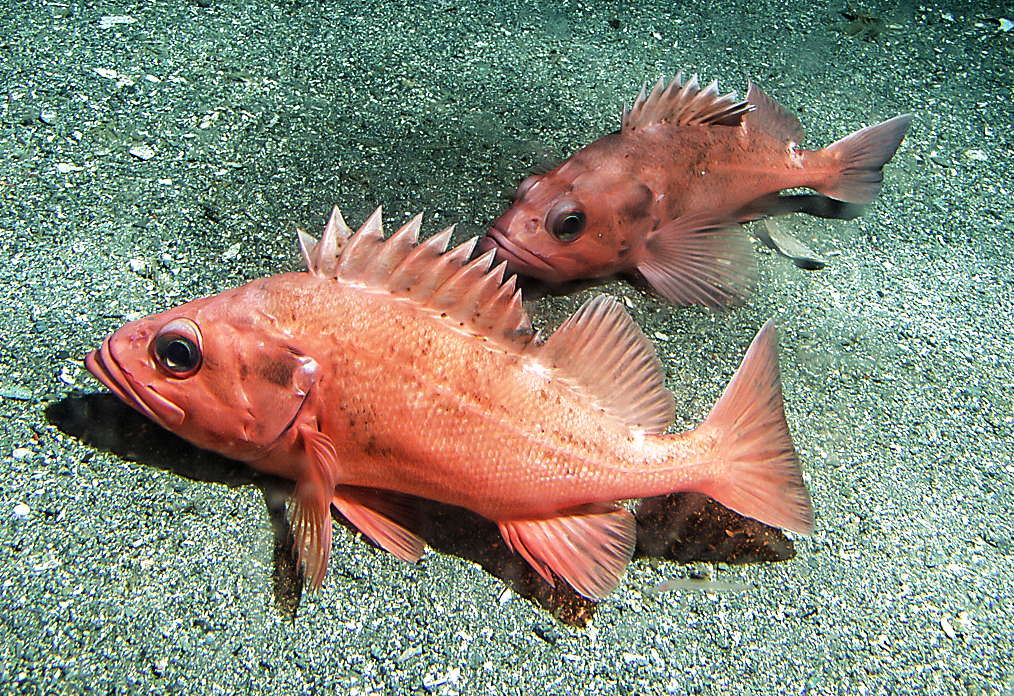 Two Rougheye rockfish.