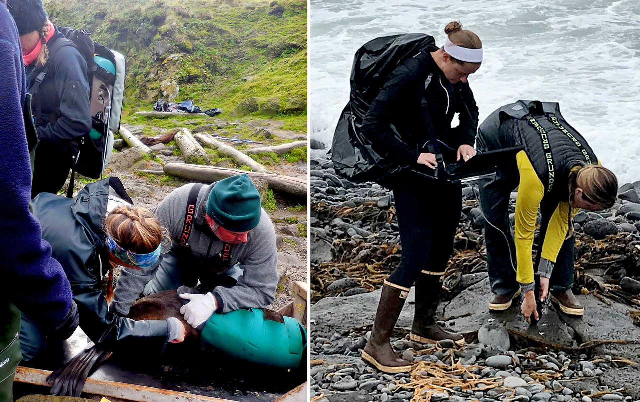 NOAA Fisheries marine mammal scientists collect spectral signatures from wild northern fur seal pups and their background in the Pribilof Islands, Alaska.