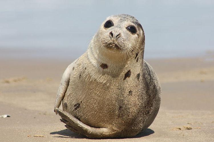 juvenile-harp-seal.jpg