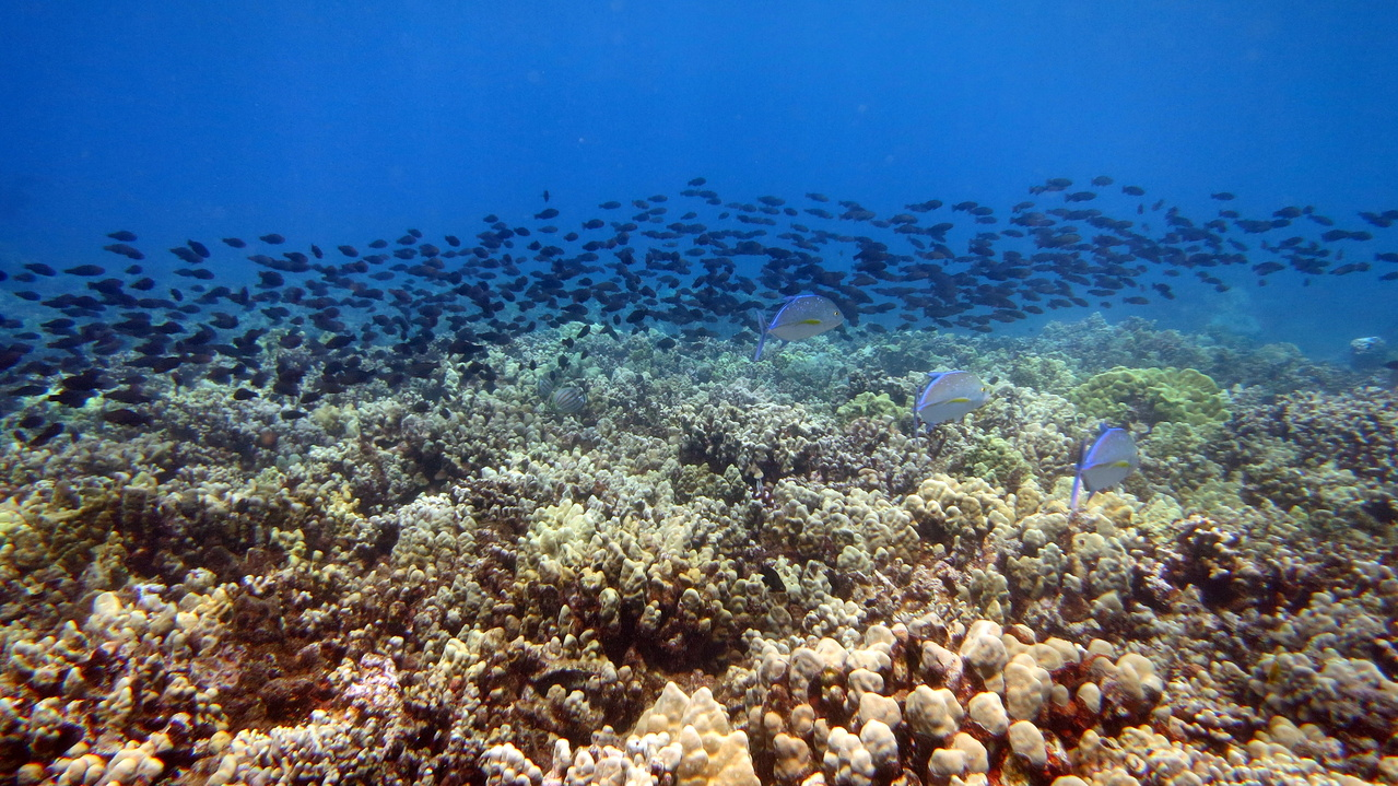 Blue trevally (Caranx melampygus), ornate butterflyfish (Chaetodon ornatissimus), and starry-eyed parrotfish (Calotomus carolinus) over a coral reef off Maui.