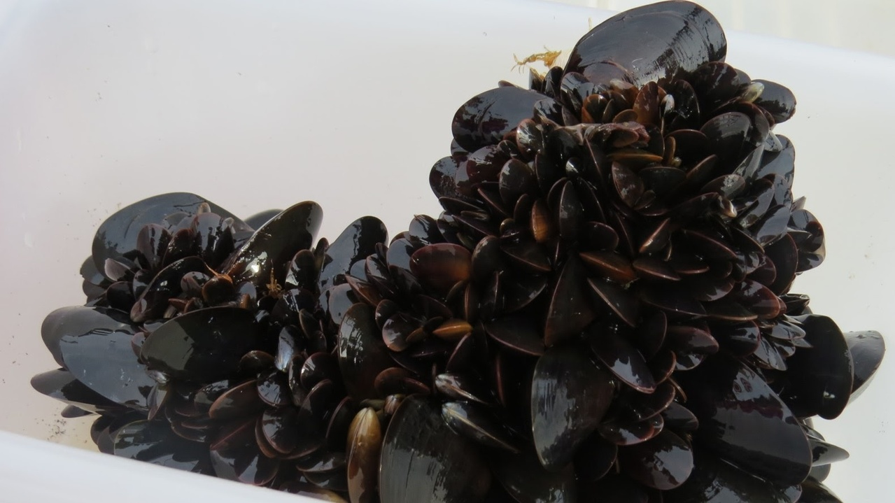 offshoremussels_cropped.jpg