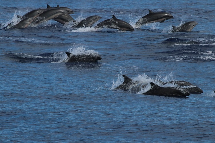 A group of dolphin's swimming.