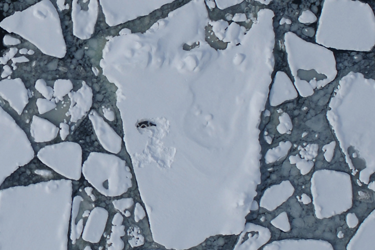 750x500-aerial-ribbon-seal-on-ice-AFSC.jpg