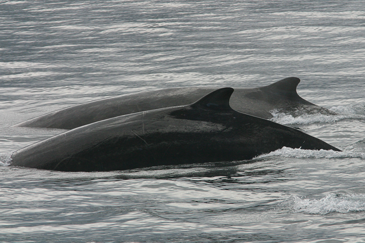 750x500-bairds-beaked-whale-1.png