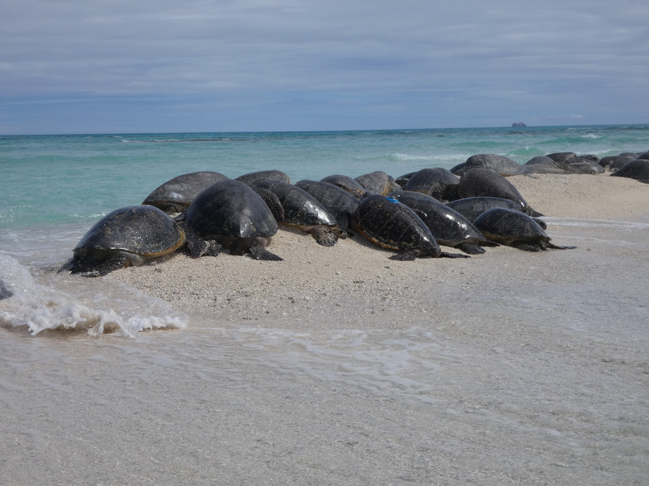 At least 23 turtles in photo on small spit of sand.