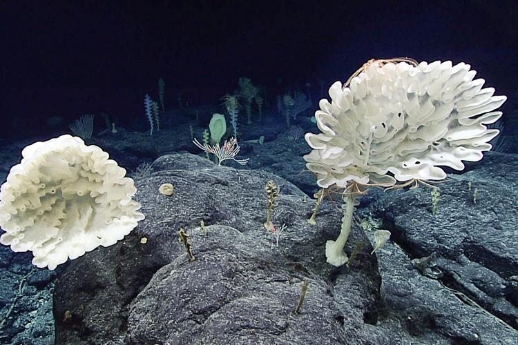 Farreid glass sponges coral