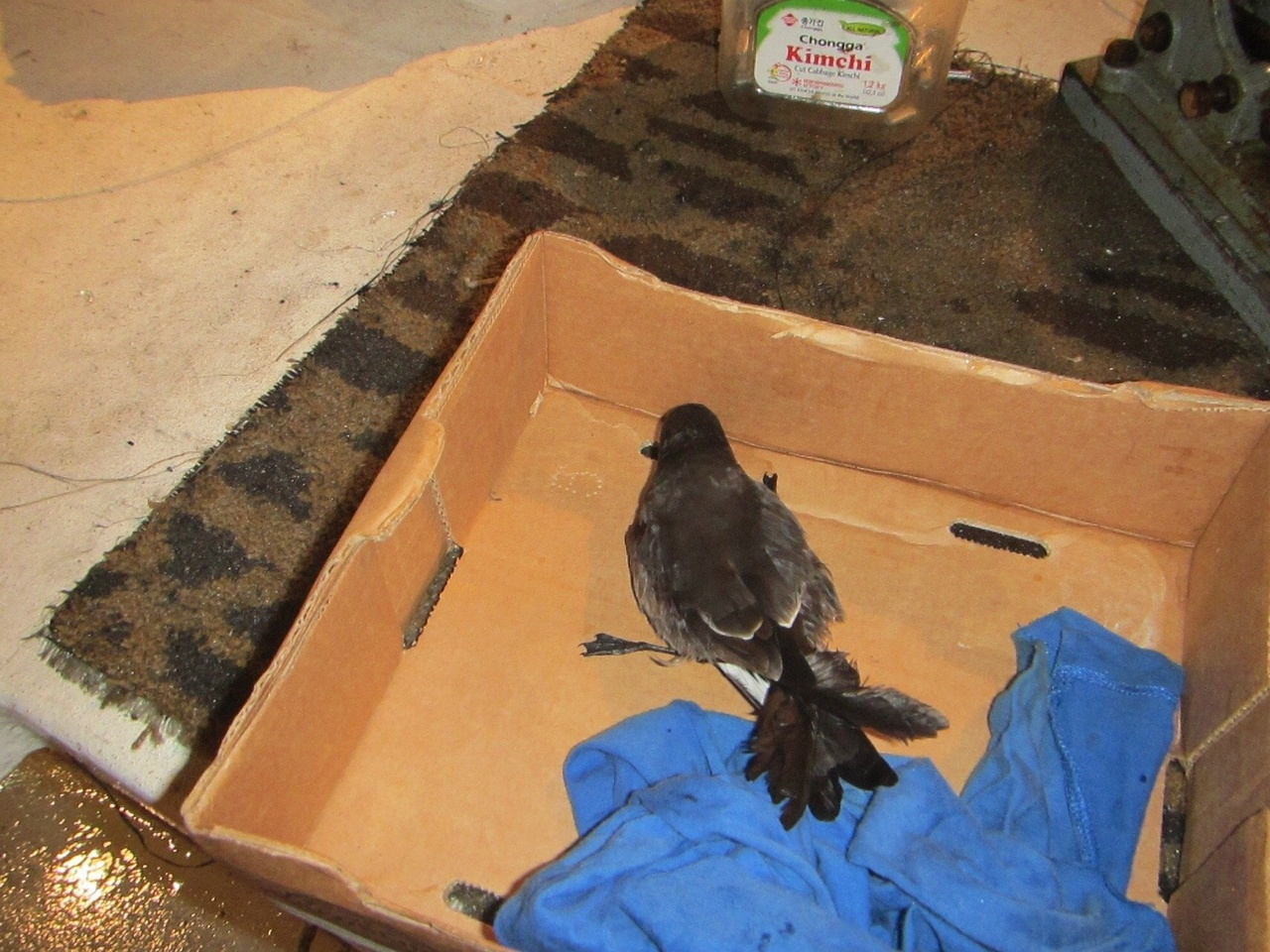 Storm petrel on deck, being cared for.