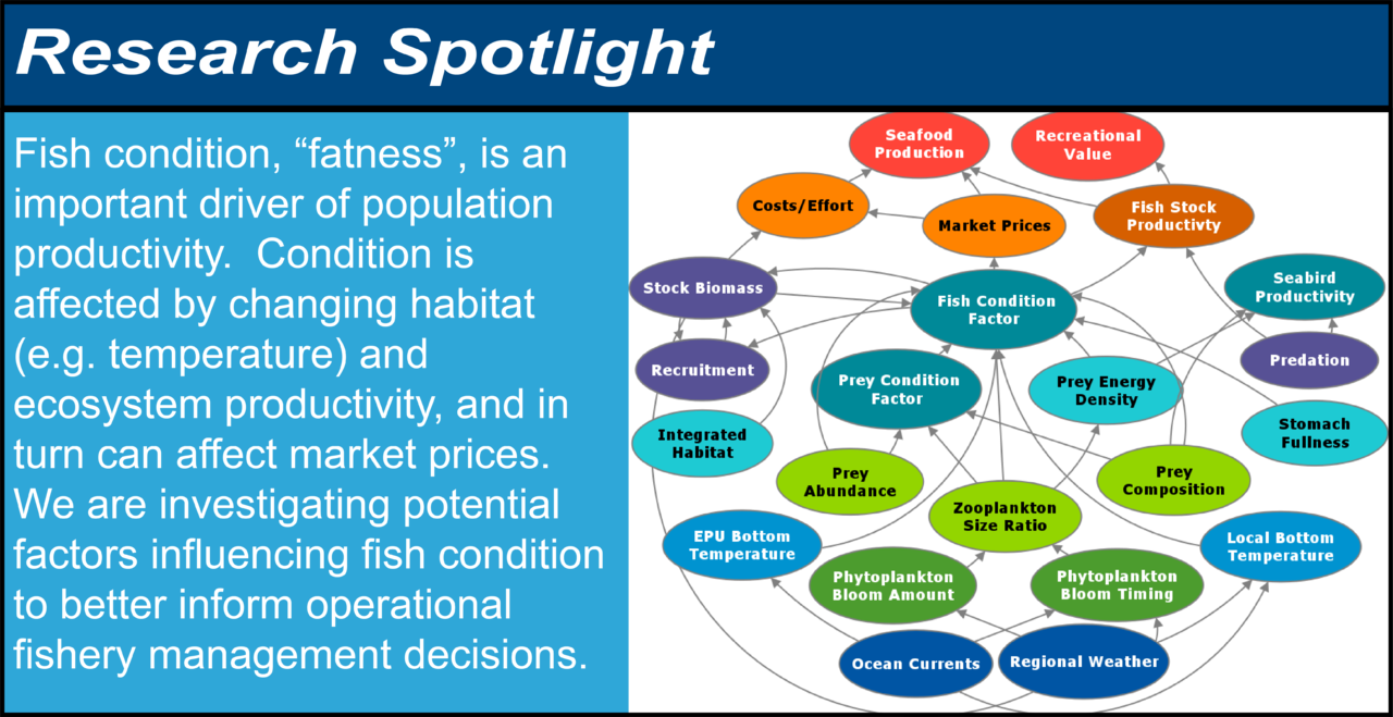 """Infographic showing the research spotlight on fish condition. Fish condition, """"fatness,"""" is an important driver of population productivity. Condition is affected by changing habitat (e.g. temperature) and ecosystem productivity, and in turn can affect market prices. We are investigating potential factors influencing fish condition to better inform operational fishery management decisions. The diagram shows possible relationships between oceanographic and habitat indicators, food web indicators, fish condition factor, fish population indicators, fishery economics indicators, and fishery objectives such as seafood production."""