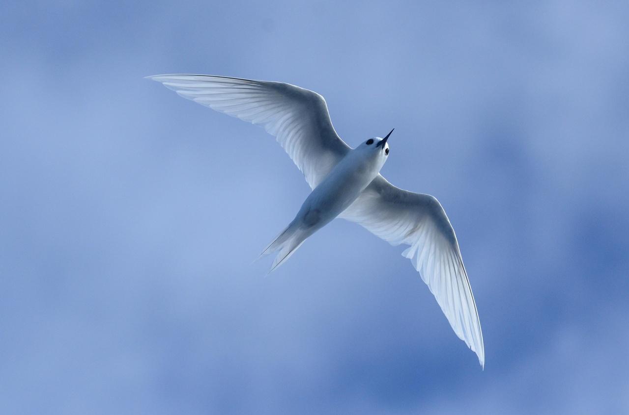 07_White Tern.jpg