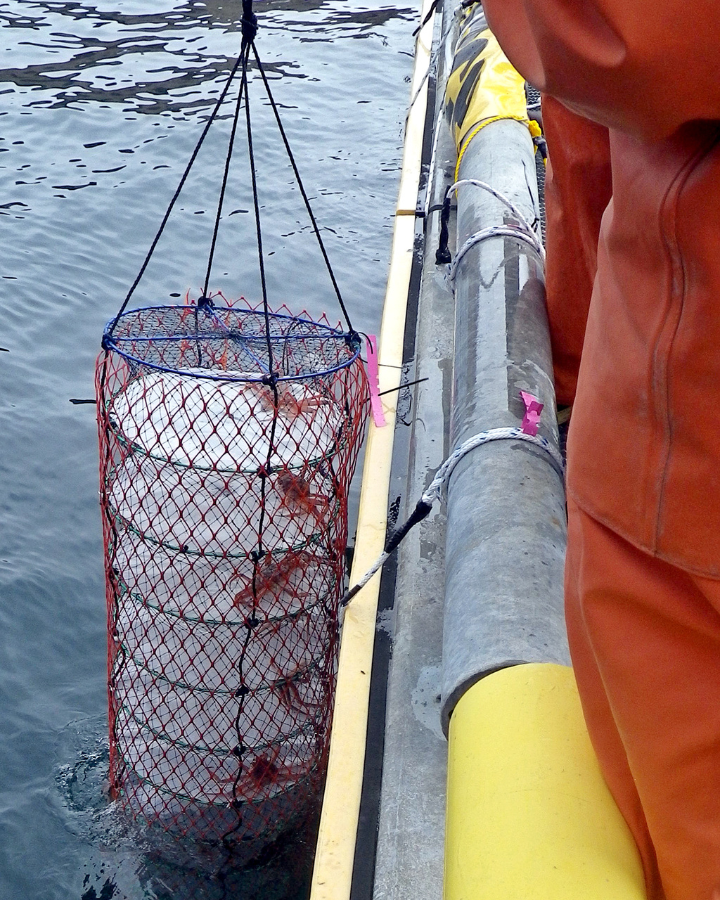 We retrieve the lantern nets daily and each crab is checked to see if it has molted (shed its shell). We modified the lantern nets by attaching sheets of plastic to each compartment to act as flooring, providing a surface for the crabs to push against as they molt. We allow the shells of newly molted crabs to harden before we measure the new size. There are no new shell crab in this lantern net today.