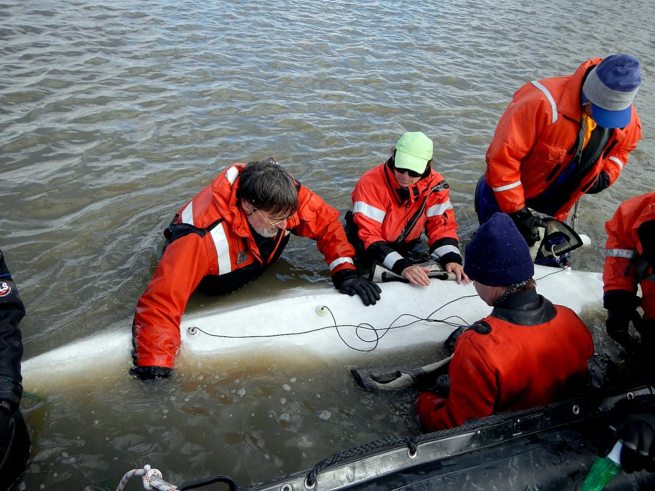Acoustic Studies, Tagging beluga whale, Photo credit: Laura Thompson, Mystic Aquarium.