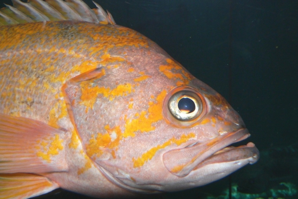 750x500-canary-rockfish-close-up-Lynn-Mattes.jpg