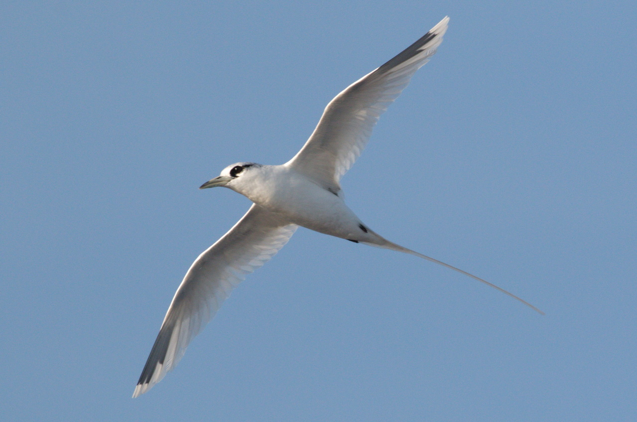 """A curious white-tailed tropicbird does a """"fly-by"""" over the Sette. Tropicbird tails can be up to 18 inches long! Photo: NOAA Fisheries/Michael Force."""