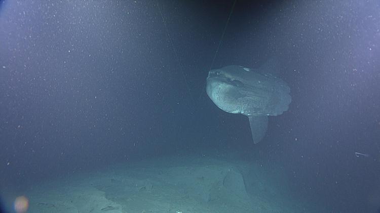 ocean-sunfish-4.jpg