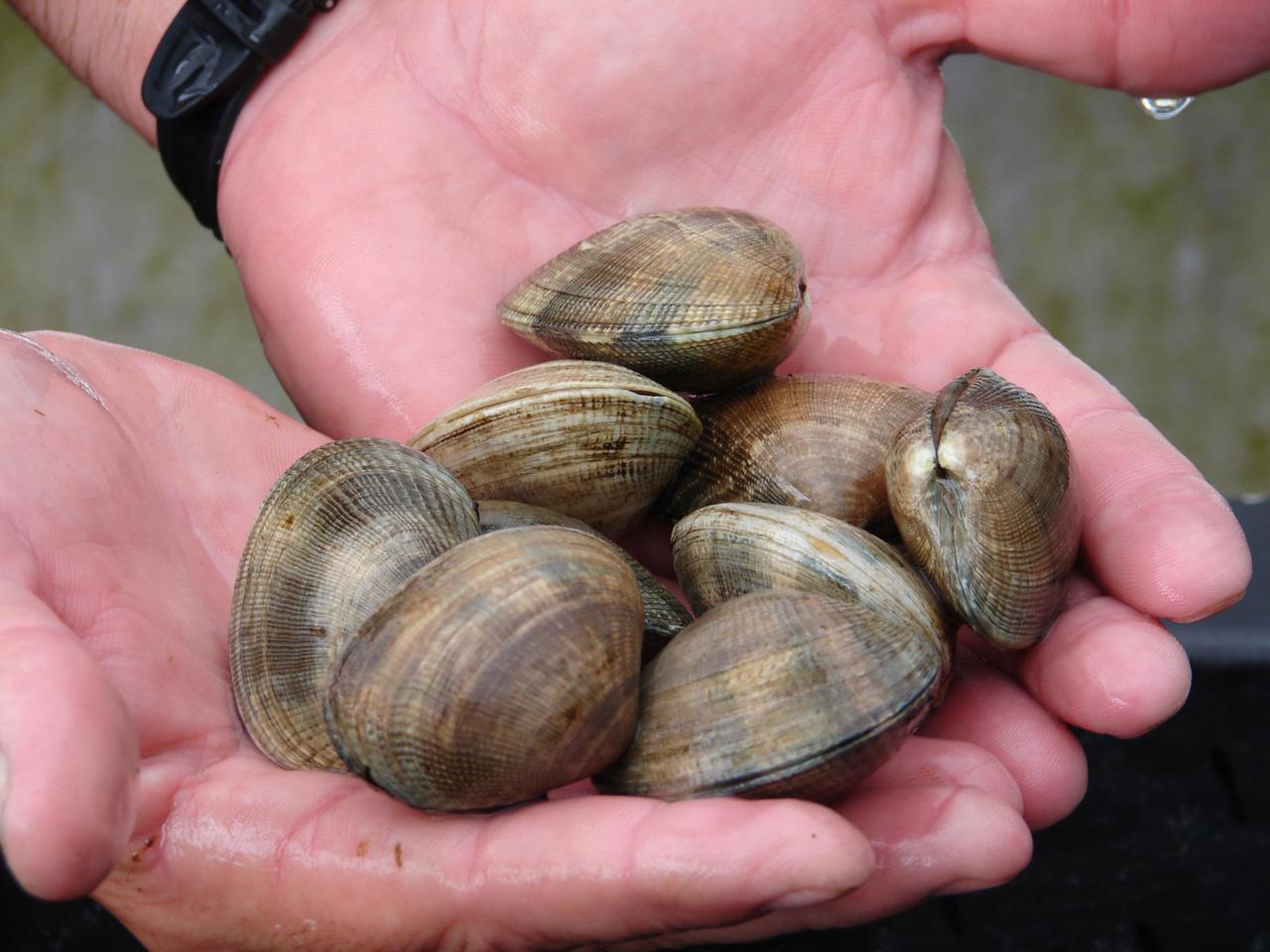 2592x1944-hawaii-aquaculturetour-manilaclams-NOAA-Policy.jpg