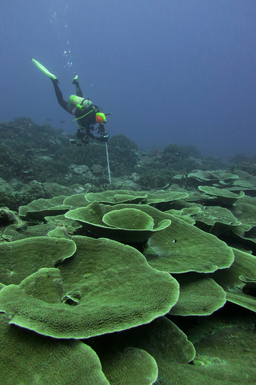 A scientist takes photos of the corals after counting all of the fish around her. The coral in the foreground grows out like leaves to soak up as much sunlight as possible. (Photo: NOAA Fisheries/Louise Giuseffi)