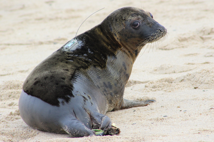gray-seal-tagged-NEFSC.JPG
