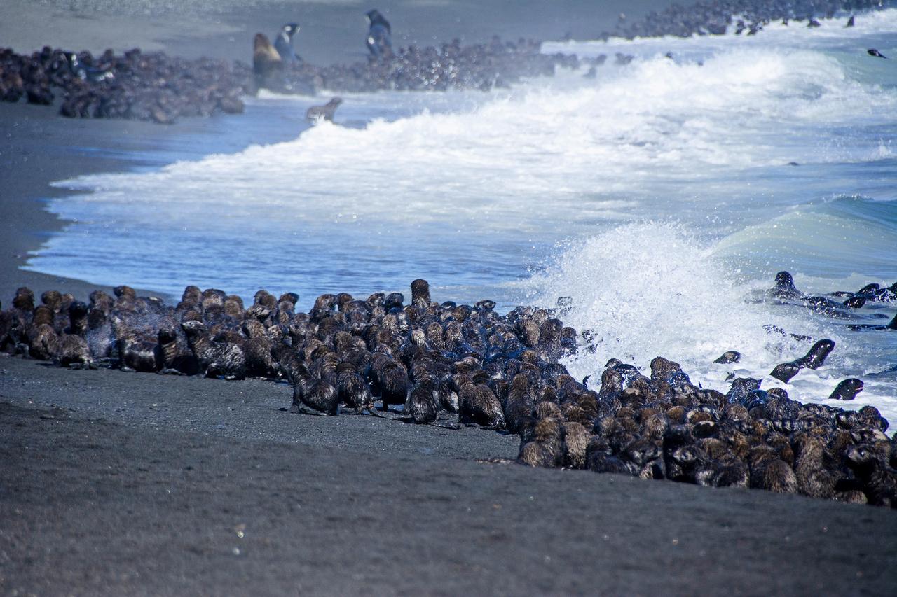 Fur seal pups on Bogoslof Island.
