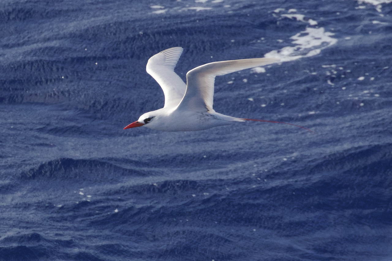 Red-tailed Tropicbird is one of three species of tropicbirds, widespread throughout the world's tropical oceans. They feed primarily on flying fish, making spectacular plunges into the sea, often from extreme heights above the ocean. All three species sport specialized central tail feathers longer than the other feathers. The deep carmine red tail streamers of the Red-tailed Tropicbird were highly coveted by many south Pacific cultures. Photo: NOAA Fisheries/Michael Force.