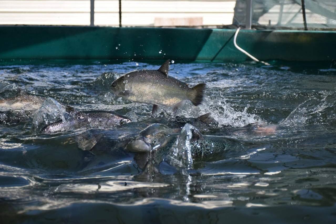 Adult spring-run Chinook salmon at the Salmon Conservation and Research Facility