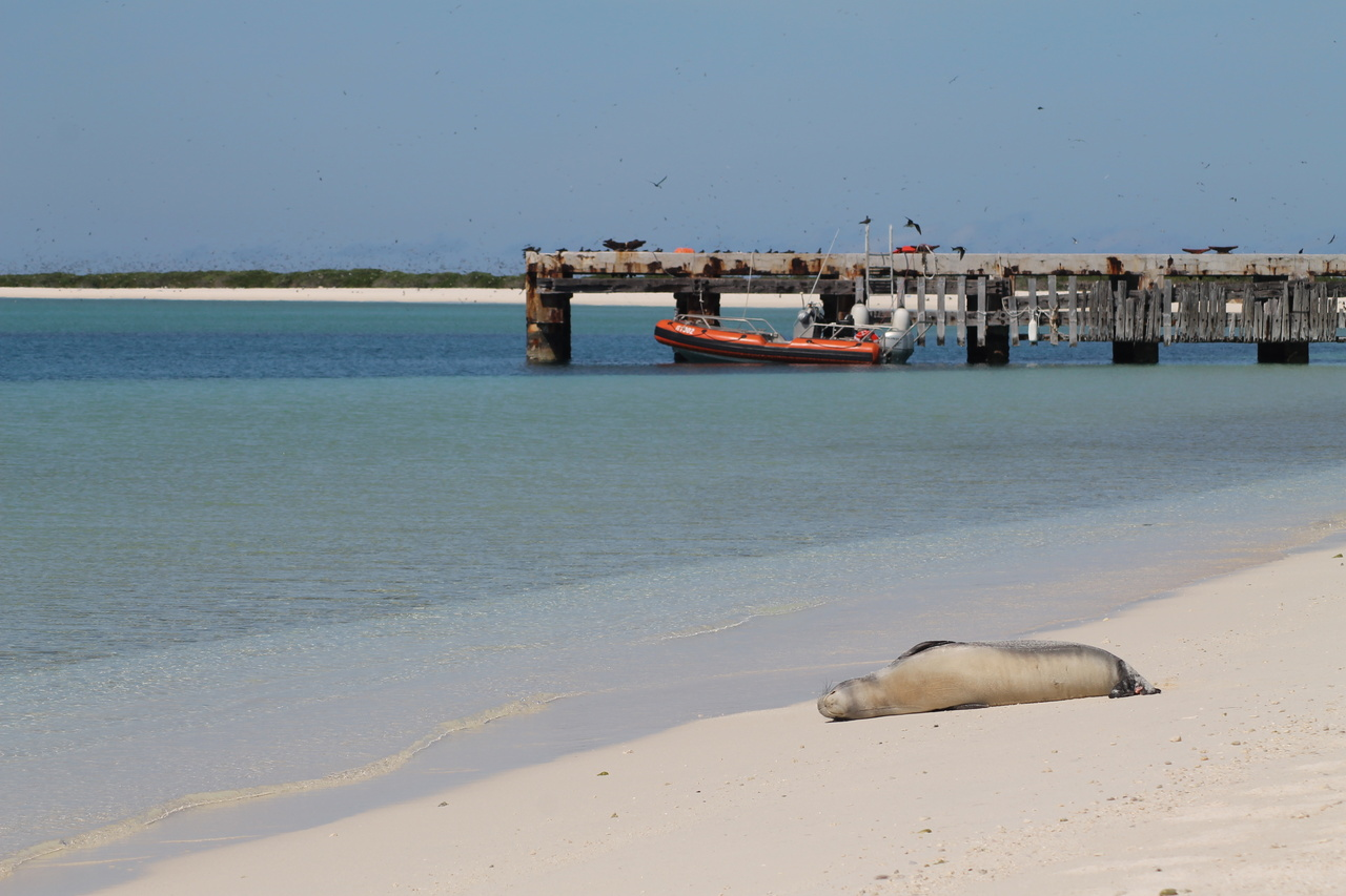 Hawaiian monk seal rests on the sand at Midway Atoll