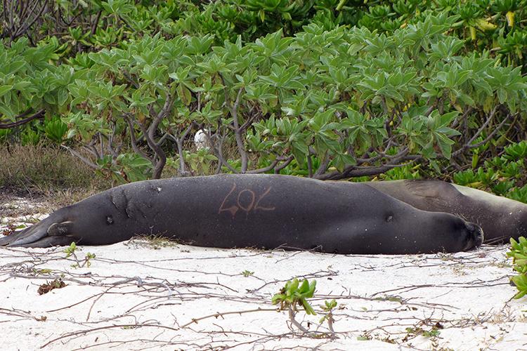 Hawaiian monk seal, KE18, resting on the shoreline.