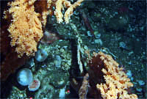 Coral and juvenile rockfish from Delta submersible.