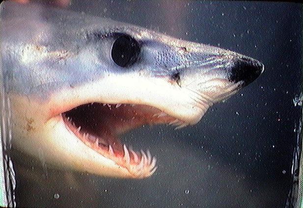 Photo of a shortin mako shark showing it's many teeth.