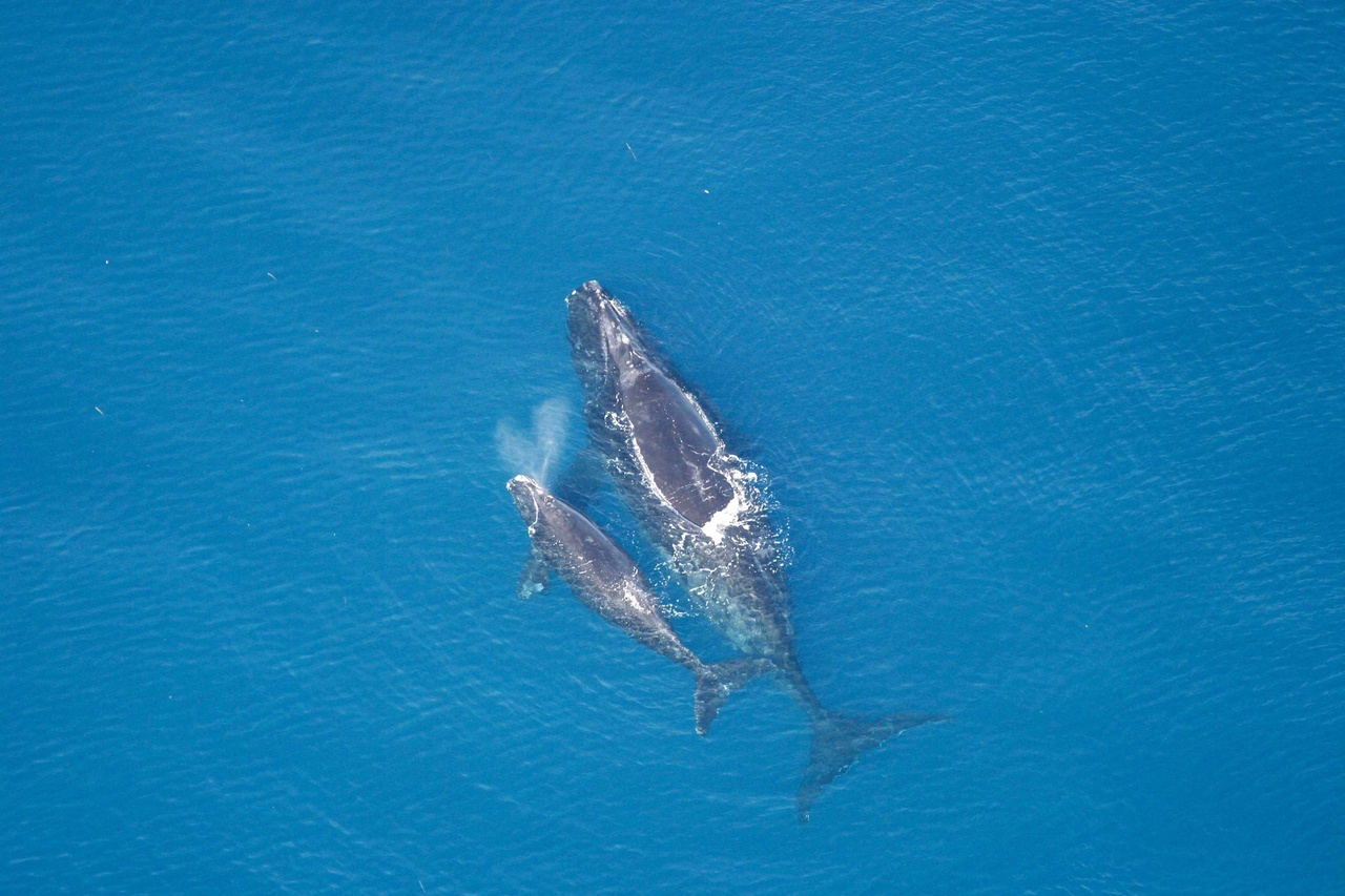 right-whale-mother-calf.jpg