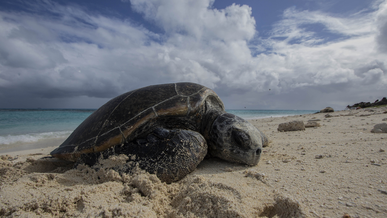 A female green sea turtle, basking on Tern Island, Hawaii. She came back up later that night to lay her first nest of the 2018 season. Photos taken under NOAA and USFWS permits.