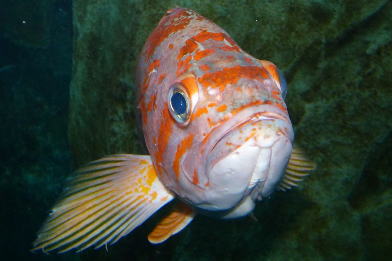 750x500-canary-rockfish-close-up-Lynn-Mattes-2.jpg