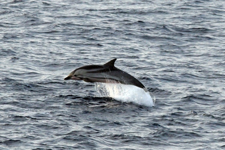 A single striped dolphin jumping.