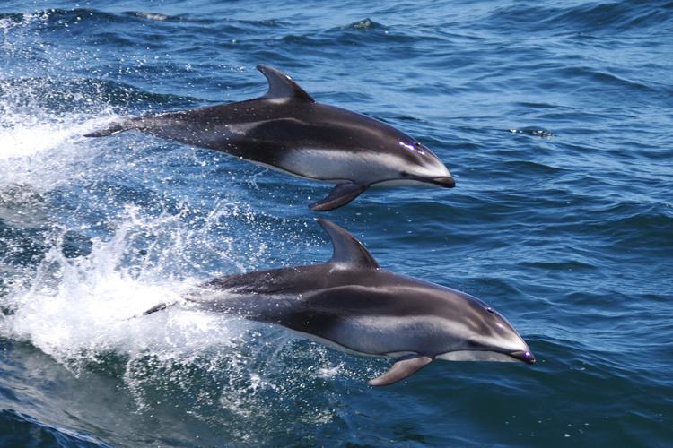750x500-pacific-white-sided-dolphins-santa-cruz.jpg