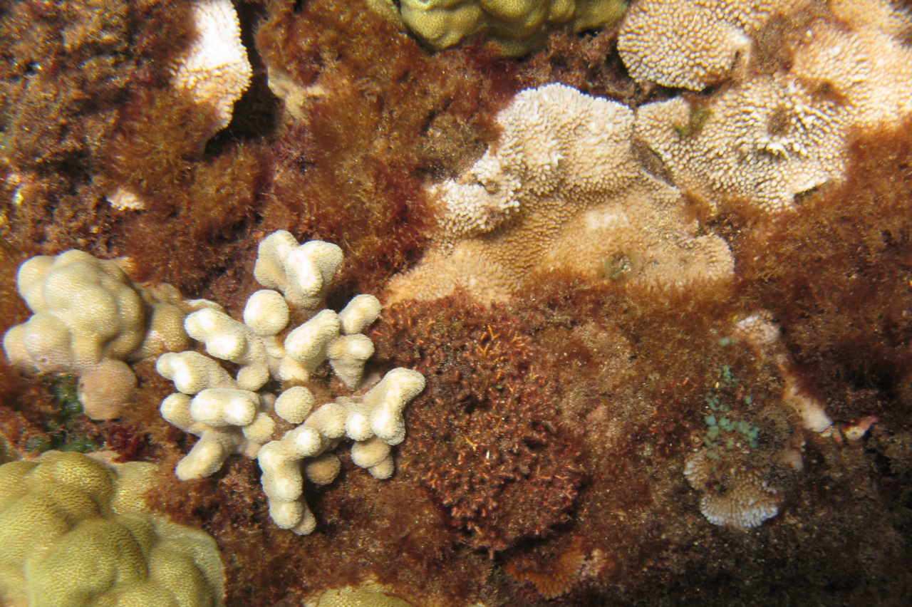 When there are few grazers, thick growths of algae can smother and stress corals, reducing their growth rate and inhibiting reproduction and settlement of new corals.