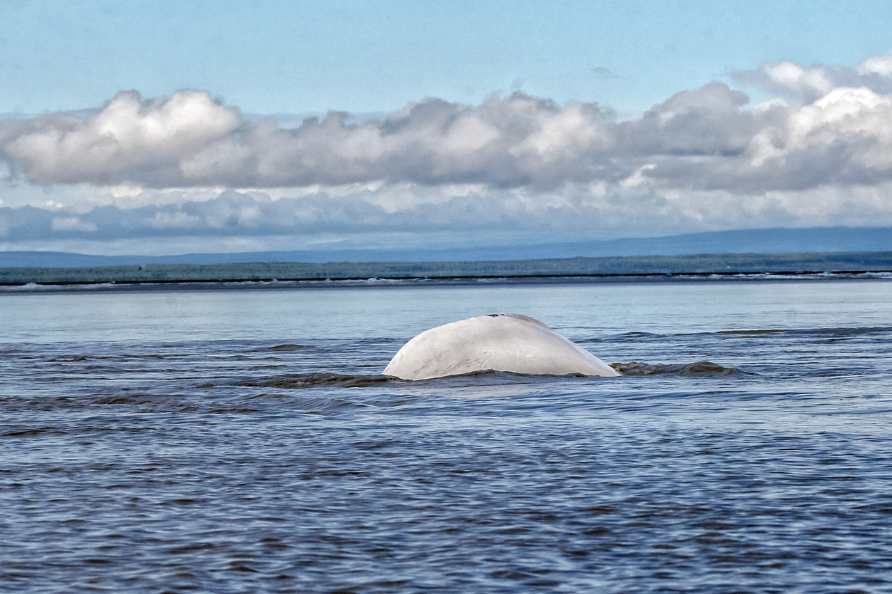 Cook Inlet Beluga Whale.