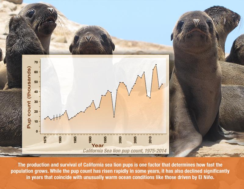 California Sea Lion Graphic