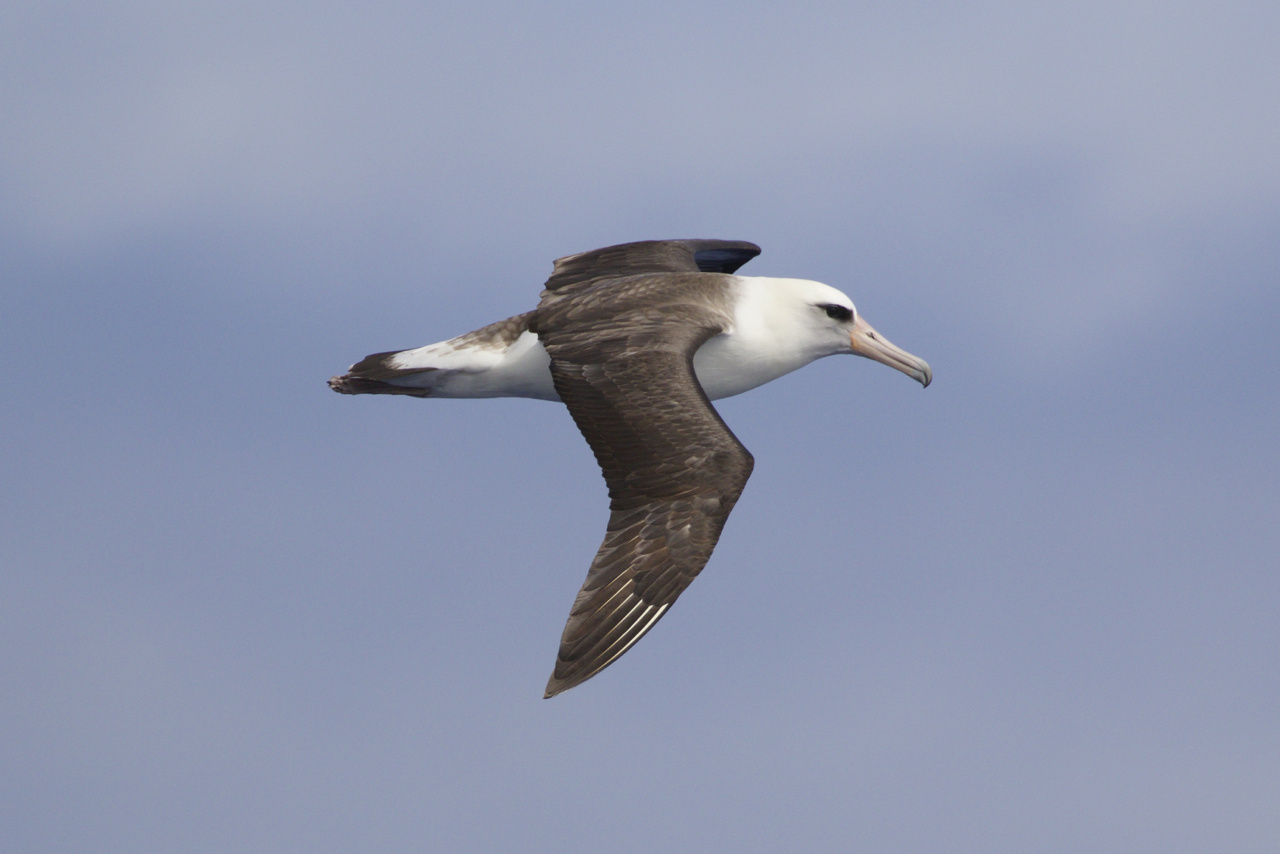 After wandering the North Pacific Basin during the summer months, Laysan Albatross are returning to their Hawaiian nesting islands. Photo: NOAA Fisheries/Michael Force.
