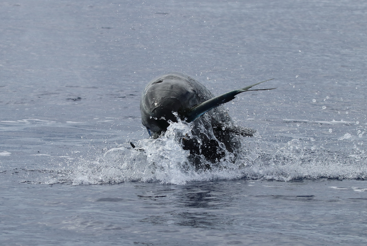 False killer whale jumps out of the water with a mahimahi in its mouth.