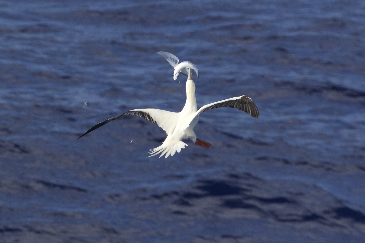 """The saying goes, """"there are plenty of fish in the sea."""" Well, thanks to the deft hunting skills of this red-footed booby, now there is one less fish in the sea. Of the three species of boobies in Hawai'i, this species specializes in aerial pursuit—snatching the fish right out of the air! The chase is spectacular, with the bird nimbly juggling the fish to swallow it head-first. Photo: NOAA Fisheries/Michael Force."""